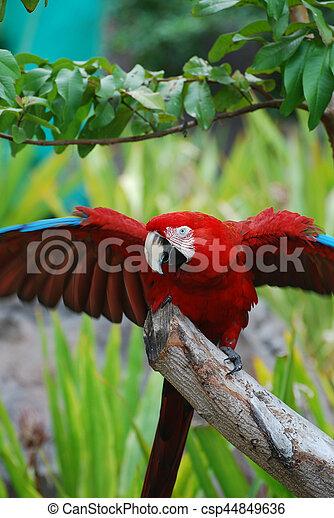 écarlate, prolongé, macaw, ailes - csp44849636