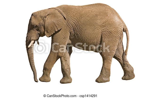 éléphant - csp1414291