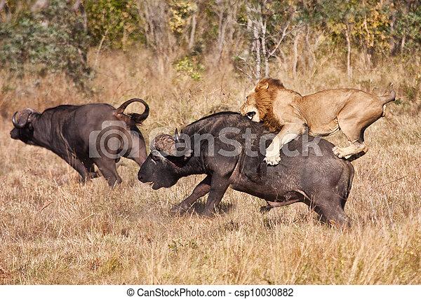 énorme, lion, attaque, taureau, mâle, buffle - csp10030882