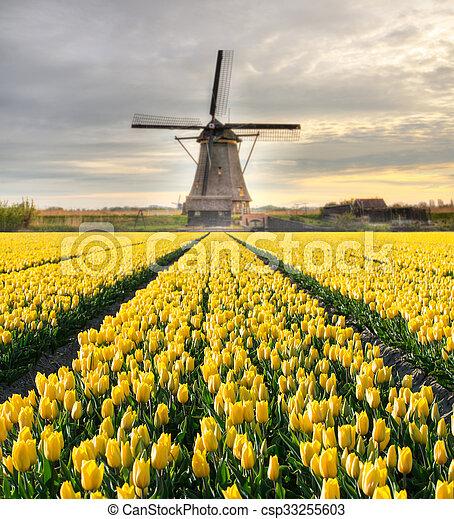 éolienne, tulipes, hollandais, champ, vibrant - csp33255603