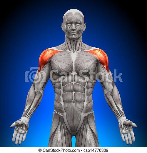 épaules, -, muscl, /, anatomie, deltoïde - csp14778389