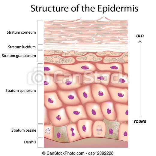 épiderme, peau - csp12392228
