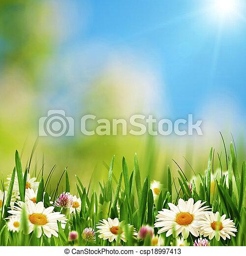 été, pré, beauté naturelle, résumé, arrière-plans, pâquerette, fleurs - csp18997413