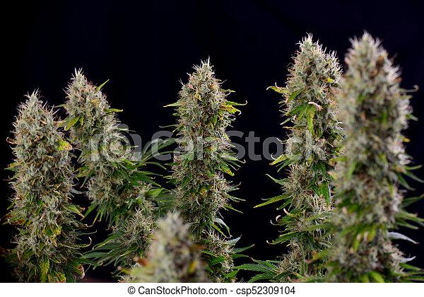 étape, diesel, tard, fleurir, cannabis, strain), visible, kola, trichomes, (sour, marijuana - csp52309104