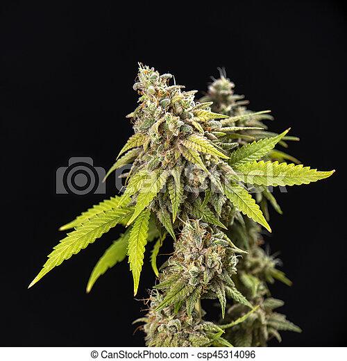 étape, tard, cheveux, chênes, fleurir, cannabis, (thousand, strain), visible, feuilles, kola, marijuana - csp45314096