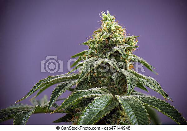 étape, tard, cheveux, fleurir, cannabis, strain), feuilles, visible, ruisseau, kola, (fire, marijuana - csp47144948