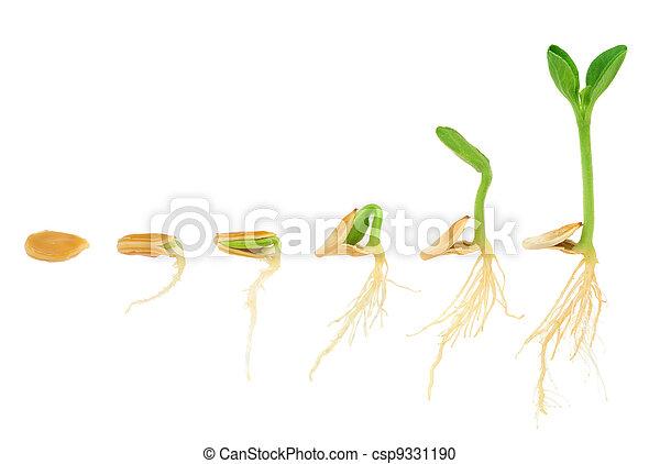 évolution, concept, séquence, isolé, plante, croissant, citrouille - csp9331190