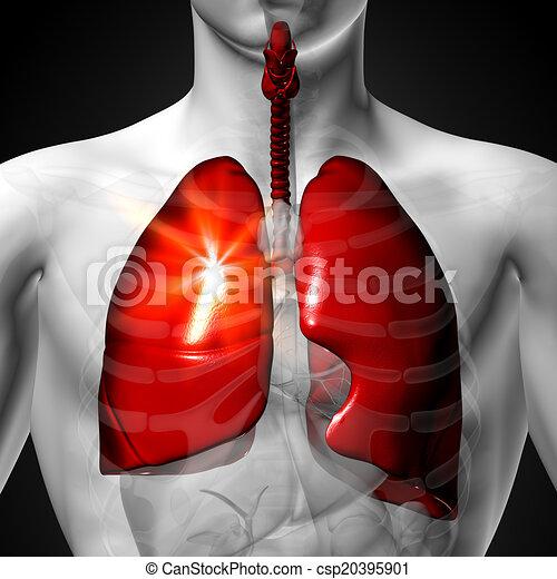 Órgano, pulmones, -, anatomía, humano, macho. Pulmones, -, anatomía ...