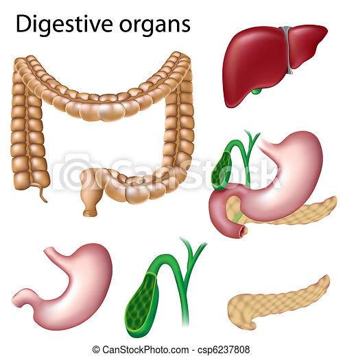 órganos digestivos, aislado - csp6237808