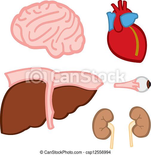 Órganos internos. Estilizado, organs., caricatura, representación ...