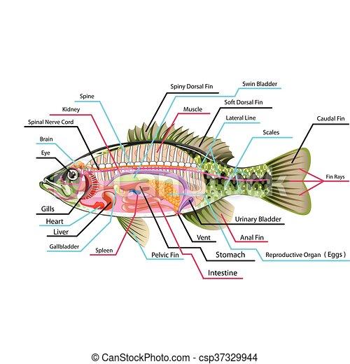Órganos, pez, vector, arte, interno. Diagrama, arte, pez, etiquetas ...
