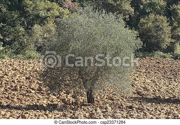 Olivenbaum - csp23371284