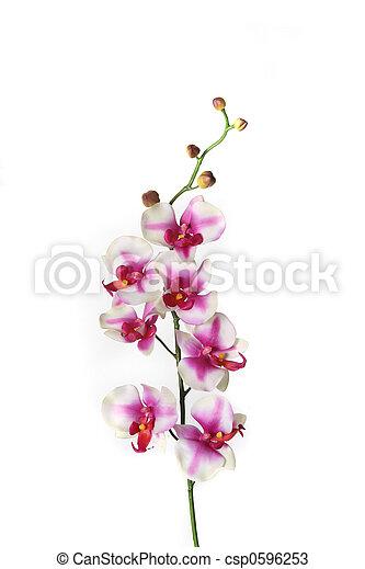 única flor, caule, orquídea - csp0596253
