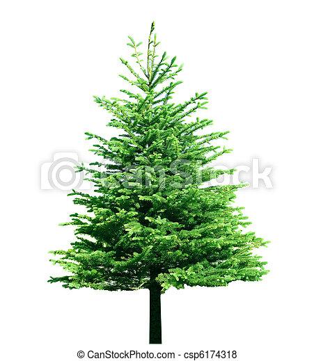 único, árvore, pinho - csp6174318