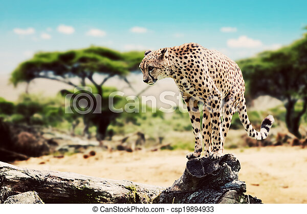 Ein wilder Gepard wird angreifen. Safari in Serengeti, Tansania, Afrika. - csp19894933