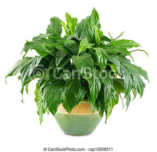 üppig, pflanze, innen, glänzend - csp13508311