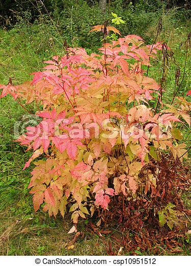 ősz, bokor, dioicus, aruncus - csp10951512