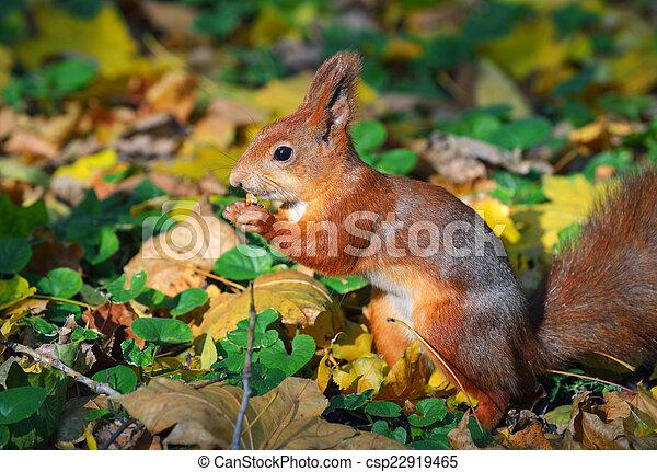 ősz erdő, mókus - csp22919465