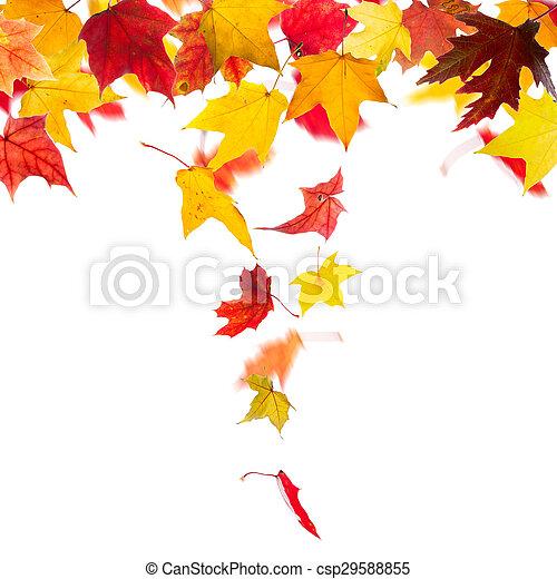 ősz kilépő, esés, juharfa - csp29588855