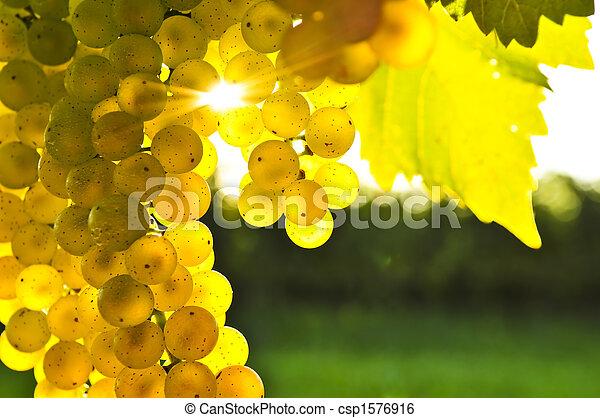 żółty, winogrona - csp1576916