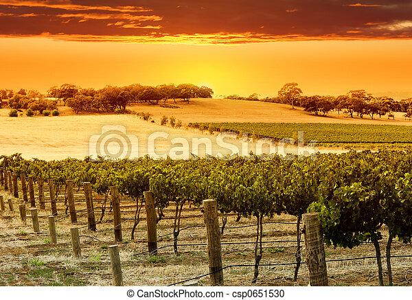 αμπέλι , ηλιοβασίλεμα  - csp0651530