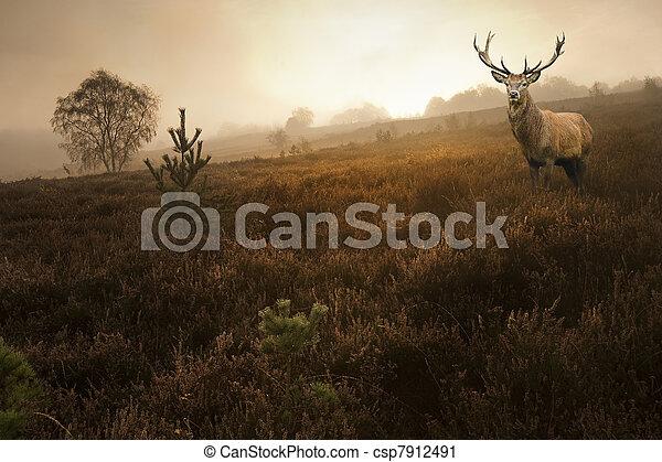 ασαφής , ελάφι , φθινόπωρο , άγαμος άνδρας , τοπίο , ομιχλώδης , χαράζω , κόκκινο , δάσοs  - csp7912491