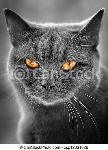 βρεταννίδα , γάτα  - csp12031626