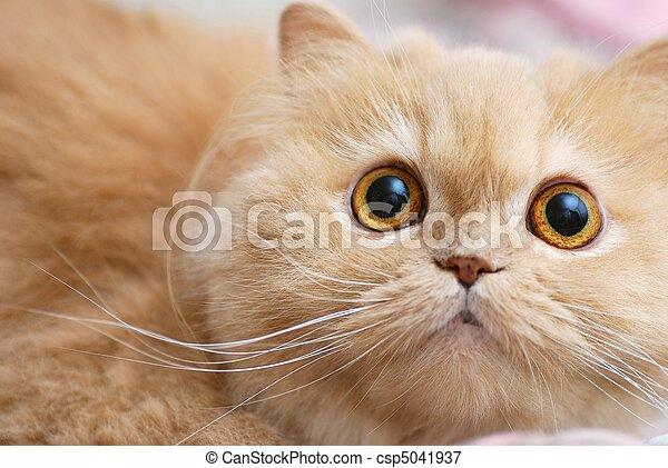 γάτα , γκρο πλαν  - csp5041937