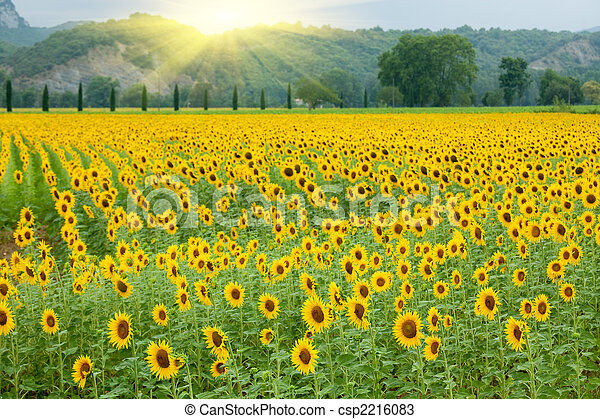 γεωργία , ηλιοτρόπιο  - csp2216083