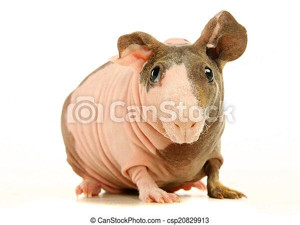 γκινέα , άσπρο , άτριχος , απομονωμένος , γουρούνι  - csp20829913