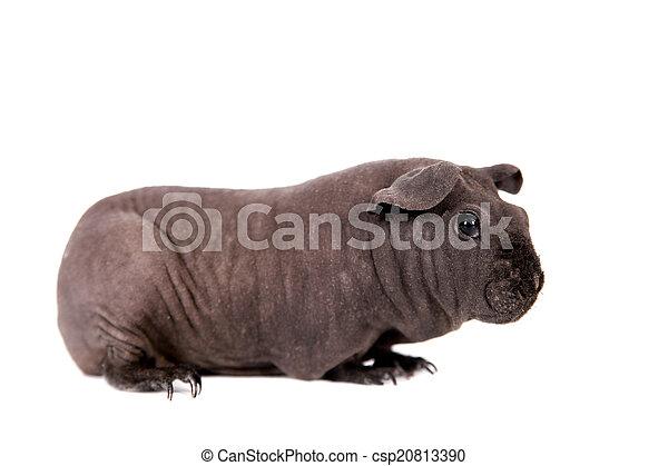 γκινέα , άσπρο , άτριχος , απομονωμένος , γουρούνι  - csp20813390