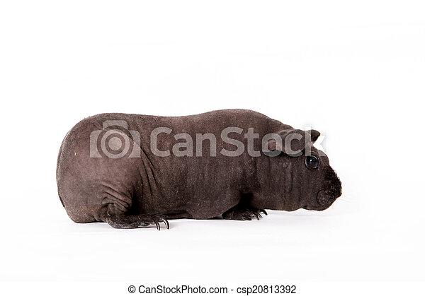 γκινέα , άσπρο , άτριχος , απομονωμένος , γουρούνι  - csp20813392