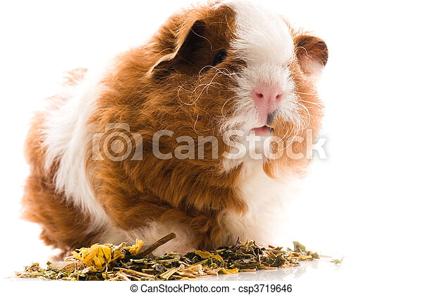 γκινέα , άσπρο , απομονωμένος , γουρούνι  - csp3719646