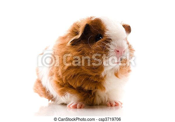 γκινέα , άσπρο , απομονωμένος , γουρούνι  - csp3719706