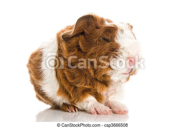 γκινέα , άσπρο , απομονωμένος , γουρούνι  - csp3666508