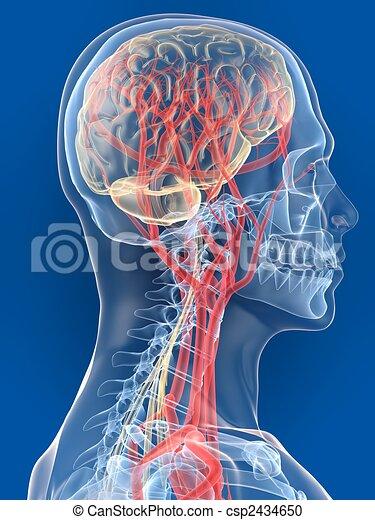 εγκέφαλοs , ανθρώπινος  - csp2434650