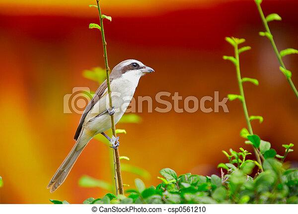 θάμνοs , 43-, πουλί  - csp0561210