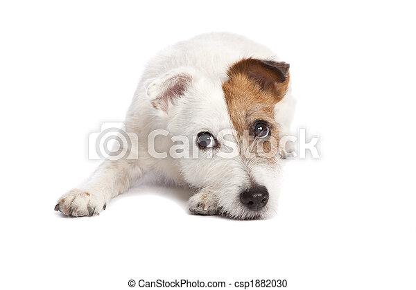 κάτω , είδος μικρού σκύλου , ανυψωντήραs , κειμένος , russell  - csp1882030