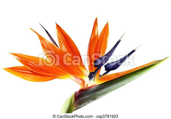 λουλούδι , πουλί , παράδεισος  - csp3781923