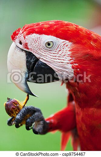 μακάο , παπαγάλος , μεγάλος , απολαμβάνω , φρούτο , κόκκινο  - csp9754467