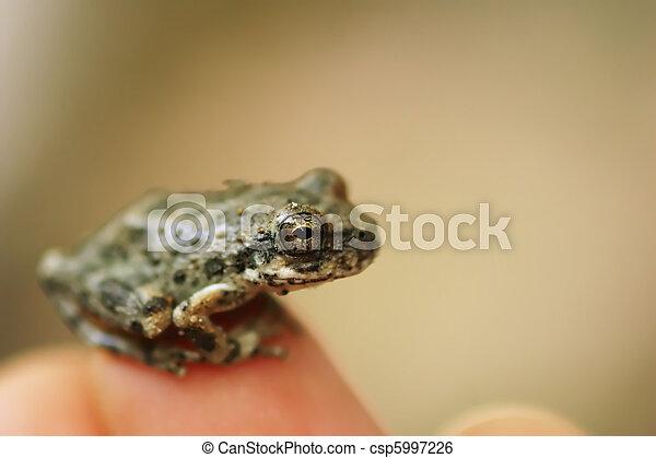 μικρός , βάτραχος  - csp5997226