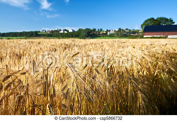 μπλε , καλοκαίρι , σιτάρι , ώριμος , σίκαλη , ουρανόs , γεωργία  - csp5866732