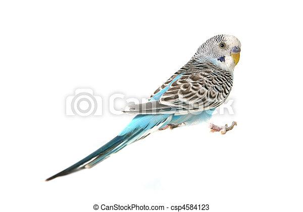 μπλε , budgie , είδος παπαγάλου , πουλί  - csp4584123