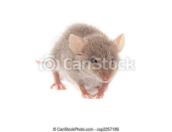 ποντίκι  - csp2257189
