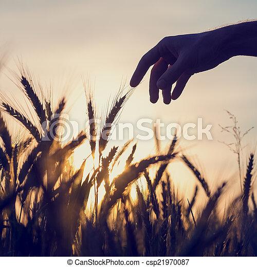 σιτάρι , αγγίζω , άντραs , άγγιγμα , αυτιά , έξω  - csp21970087