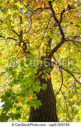 φθινόπωρο , λιακάδα , διαμέσου , φύλλωμα  - csp51304159