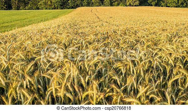 όμορφος , χρυσαφένιος , σιτάλευρο αγρός  - csp20766818