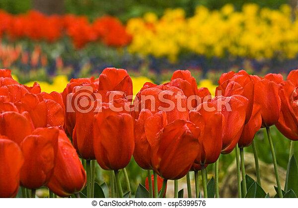 весна, красный, tulips - csp5399576