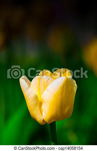 весна, сад, желтый, тюльпан - csp14058154
