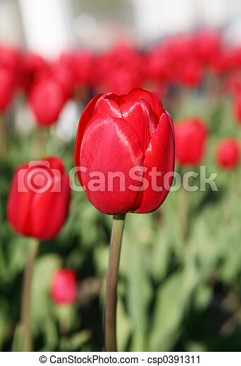 весна, тюльпан - csp0391311